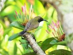 Olive-backed Sunbird by Ralf Muhl
