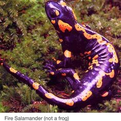 Nope, not a frog.. Cute spots on spots, Mr. Fire Salamander