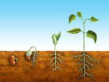 Illustration about The germination process for a bean plant. Illustration of germination, embryo, root - 8456410 Life Cycle Stages, Crop Protection, Curious Kids, Seed Germination, Plant Growth, Planting Seeds, Life Cycles, Mini Books, Clipart