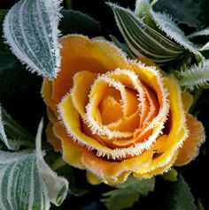 a golden rose in winter A Touch Of Frost, Snow Flower, Winter Scenery, Winter Love, Blue Dream, Spring Blooms, Winter Beauty, Winter Garden, Winter Plants