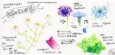 https://flic.kr/p/tKfdCP | 2015_05_25_flowers_01 | 初夏の散歩道  for this drawing I used : Faber castell polychromos MIDORI Traveler'snotebook  © Belta(Mayumi Wakabayashi)