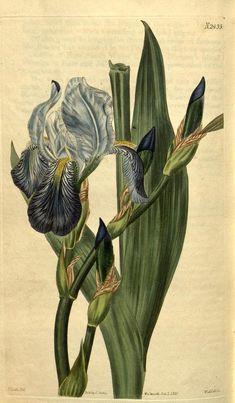 v.50 (1822-1823) - Curtis's botanical magazine. - Biodiversity Heritage Library 475 x 813