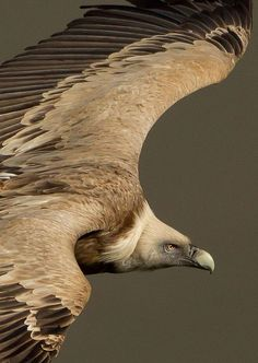 ˚Griffon Vulture what a handsome bird! Wow incredible