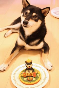 Japanese Style Dog's Birthday Celebration|Shiba inu 柴犬