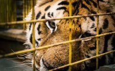 Tigre en fermer