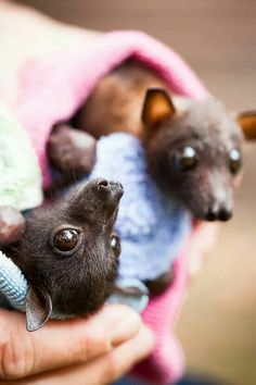 Little red flying fox baby