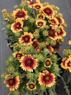 Staudenfoto zu Gaillardia x grandiflora 'Kobold' (Garten-Kokardenblume) Shops, Plants, Lawn And Garden, Tents, Retail, Plant, Retail Stores, Planets