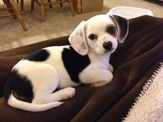 Chihuahua - Beagle - Mischling