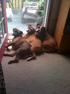 boxers love to cuddle