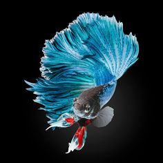 Japanese fighter fish