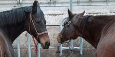 Two of the mutilated horses.