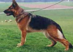 German Shepherd Red | German Shepherd Coat Colors ~love that long tail