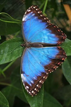 Blue morpho butterfly (Mopho menelaus) can be found in the rain forests of South America (Brazil and Guyana).
