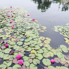 The lotus garden at echo park lake in LA