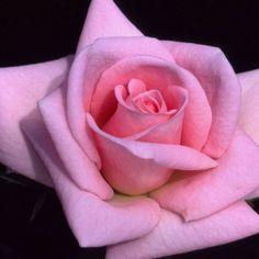 'Baby Boomer™' - Miniature rose