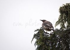 *******DIGITAL INSTANT DOWNLOAD*******  This is an original photograph of a Red Wattlebird, taken by EVM Photography.  This file is available