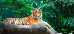 Today's Obscure Holiday is International Tiger Day! Growing up my Grandpa called me Tiger. The tiger is the largest of the world's big cats and this magnificent creature, with its distinctive orange and black stripes and beautifully marked face,. Obscure Holidays, Tiger Conservation, Forest Department, Mangrove Forest, National Animal, Bengal Tiger, Days Of The Year, People Around The World
