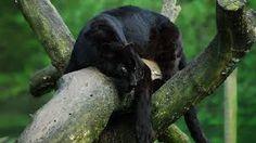 Resultado de imagem para pantera negra wallpaper