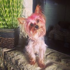 Coco second yorkie fur baby ❤️❤️ sporting pink hair !!!!
