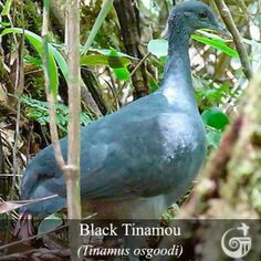 Black Tinamou (Tinamus osgoodi) is a species of ground bird found in humid foothill and montane forest in the Andes of South America. This threatened species is among the largest tinamous. -Tinamous are generally sedentary, ground-dwelling &, though not flightless, when possible avoid flight in favor of hiding or running away from danger. The two subfamilies are broadly divided by habitat, with the Nothurinae (open country), & the Tinaminae (forest).