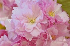 Cherry Blossom Charm Photograph by Regina Geoghan