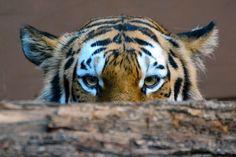 Siberian Tiger Peekaboo by Todd Robbins on 500px