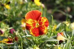 Pictures of pansy flowers and plants (Viola tricolor),Beautiful pansy photos and images on this website. Flowers For You, Winter Flowers, Flower Images, Flower Pictures, Pansies, Pansy Flower, Garden, Plants, Beautiful