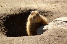 February 2nd is Groundhog Day! Find out more information at https://www.checkiday.com.