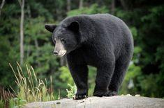 Canadian Wildlife Federation: Black Bear
