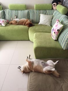 The Cutest Family Of Shiba Inu's You Have Ever Seen