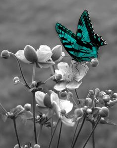 Large Brown Teal Butterfly On Flower Wall Art by LittlePiePhotoArt Teal And Grey, Black And White Colour, Black And White Pictures, Brown Teal, Black Gold, Color Splash, Color Pop, Splash Photography, Nature Photography