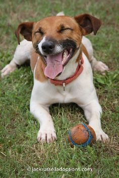Duffy, Adoptable Jack Russell Terrier | Georgia Jack Russell Rescue, Adoption & Sanctuary #rescue #jackrussell #terrier #dog #funny #smile
