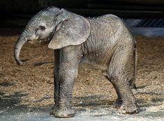 A baby elephant, less than a day old, stands tall while surveying the world around him at the San Diego Zoo in California.