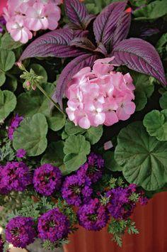 Persian shield (strobilanthes), lavender geranium, purple verbena