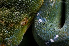 "Morelia viridis: Aru ""Type"" 