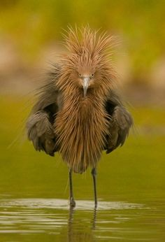 Wilson's bird-of-paradise Reddish Egret is a small heron ~ Wild for Wildlife and Nature Green Turtle. See Over 2500 more animal pictures o. Pretty Birds, Love Birds, Beautiful Birds, Animals Beautiful, Unusual Animals, Weird Birds, Exotic Animals, Pretty Flowers, Animals And Pets