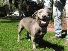 Blossom is an adoptable Basset Hound Dog in Auburn, WA. Blossom is a super cute and unusual girl. We think she is weimaraner/basset hound mix or something that gives her short legs. She is full grown...