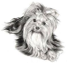 Yorkshire Terrier – Energetic and Affectionate Yorkies, Biewer Yorkie, Yorkshire Terrier, Animals And Pets, Cute Animals, Yorkie Haircuts, Cute Paintings, Desenho Tattoo, Dog Portraits