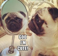 No need to be so modest pug! #dogs #pets #Pugs Facebook.com/sodoggonefunny
