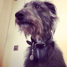 Waiting  #deerhound #bedlington #whippet #lurcher #dogsofinstagram