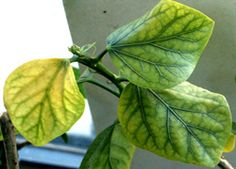Plant Care Chlorosis Yellow Leaves ~ Is it Chlorosis? Hibiscus Leaves, Hibiscus Plant, Growing Hibiscus, Plant Fungus, Parts Of A Plant, Tree Care, Yellow Leaves, Large Plants, Yellow
