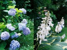 shady border classics - hydrangeas and hostas Hydrangeas, Gardening, Classic, Plants, Blog, Derby, Garten, Hydrangea Macrophylla, Lawn And Garden