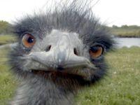 Our pet emu.  He still lives.
