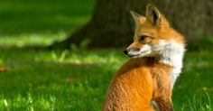 Famiglia francese adotta legalmente una volpe
