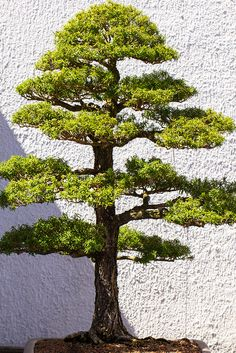 National Arboretum - Bonsai Tree