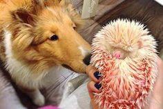 Jacqueline Law adoptó a este erizo tinturado por su anterior propietario que cruelmente lo había teñido de ese color.