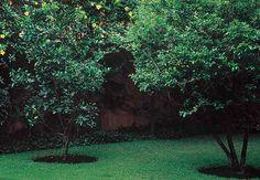Exemplar de laranjeira sanguínea, à esquerda, e de acerola. Ao fundo, avista-se a alamanda-amarela