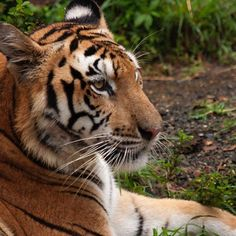 Taken at the Lowry Zoo in Tampa. All of my photographs were taken with the idea of one day painting them. I hope to do this one soon. #tiger #wildlife #nature #naturephotography #animals #animal #animalkingdom