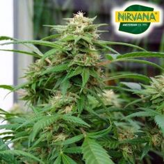 White Rhino gives you a stoney buzz that comes on hard. So tasty! Growing Weed, Indica Strains, Short Plants, Led Grow Lights, Cannabis, Seeds, High Times, South Africa, Ganja