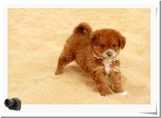 Super cute  Toy Poodle
